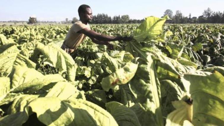 Tobacco_farming_Zim(R)