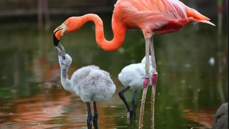 Photos de famille - Page 5 Flamingo-chicks-r