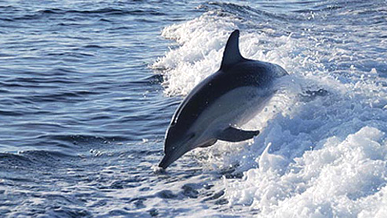 Dolphin swimming in water.