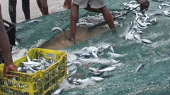 Sardines in nets