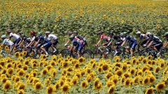 Riders cycle past a field of sunflowers during Tour de France cycling race.