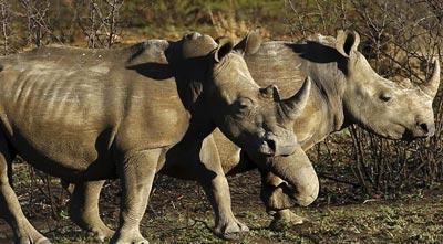 SABC NEWS rhinos - Three members of Ndlovu Gang found guilty for rhino poaching