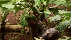 Simon Kimani picking avocados