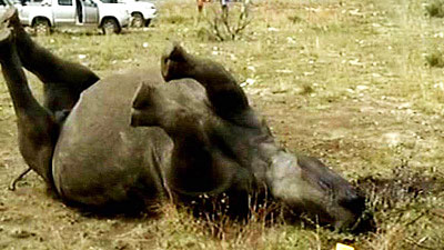 Poached rhino lying down
