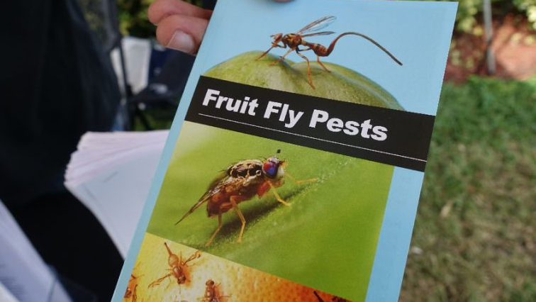 The fruit fly feasts on citrus and grapes, which the department maintains, are the main source of export in the province.