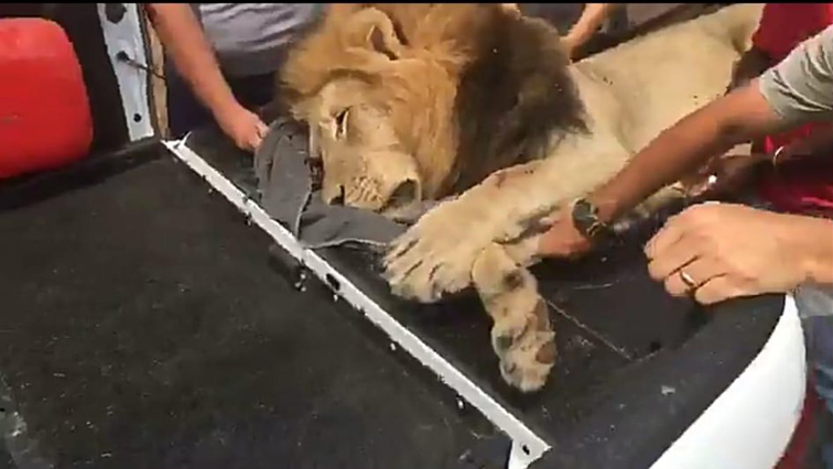 Lion prodded by people