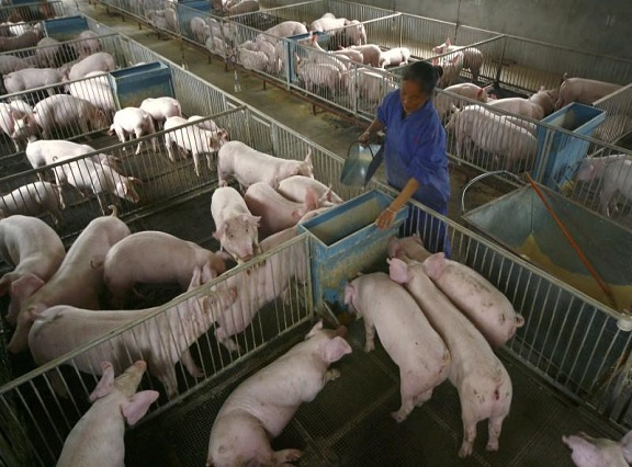 A labourer feeds piglets at a farm on the outskirts of Suining