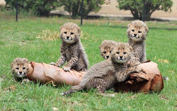 Cango Wildlife Ranch Welcomes Baby Animals Sabc News Breaking