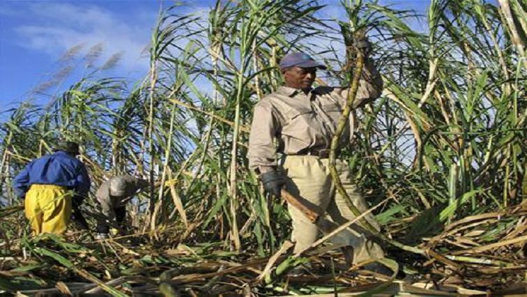 Two men working in a sugar cane field.