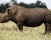 Isimangaliso Wetland Park to dehorn rhinos against poaching