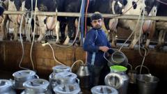 A Palestinian man milks cows.