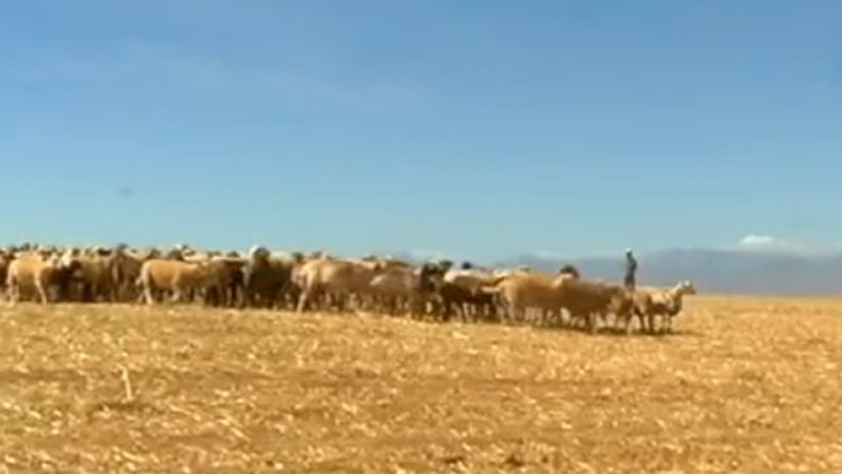 Open veld and cattle