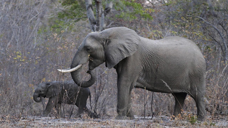 Two elephants walking in the bush