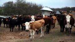 Cows graze in a farm near Victoria