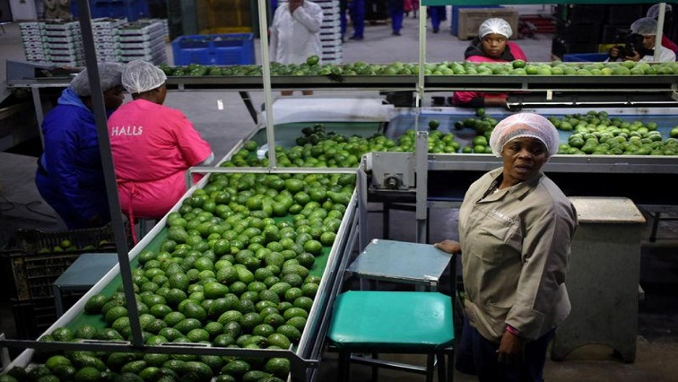 Workers sort avocados at a farm factory in Nelspruit in Mpumalanga province, about 51 miles (82 km) north of the Swaziland border, South Africa, June 14, 2018.