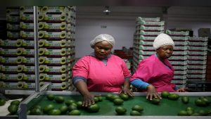 SABC News Avocados R 300x169 - Avocado industry likely to see growth in next five years