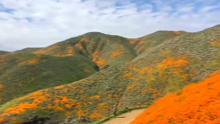 California wild poppies.