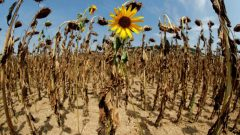 Dried up sunflower fields