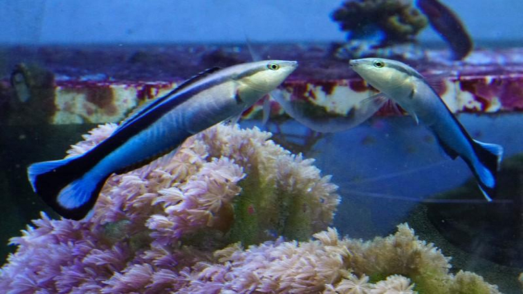 The bluestreak cleaner wrasse