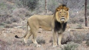 SABC News Lion R 300x169 - Search still on for Karoo National Park lion