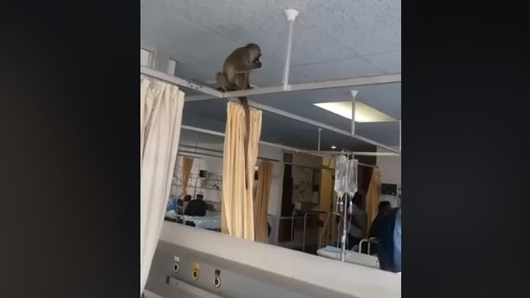 A monkey in the ward