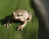Frogs and toads indicators of healthy ecosystem