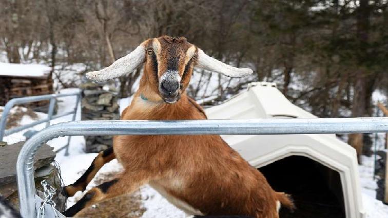 Lincon (Goat)