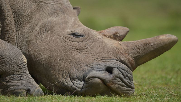 SABC News Rhino Horn AFP - Mpumalanga police recover rhino horns in stop-and-go search operations