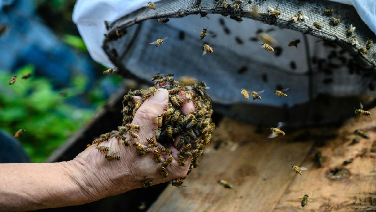 Yip pulls out handfuls of bees from a drawstring bag