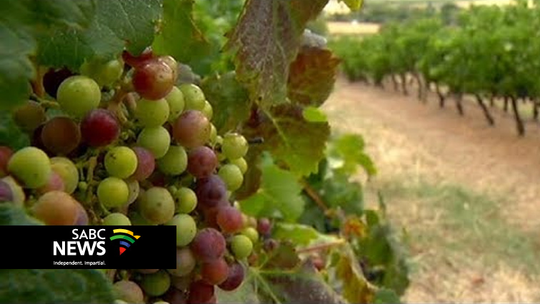 SABC News Grapes - SA wine grape harvest declines