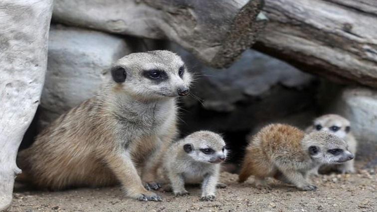 SABC News meerkats Reuters - Four new baby meerkats melt hearts at a Thai zoo