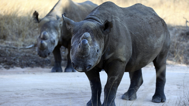 SABC News Black rhino R - Eastern Cape strengthens efforts to conserve Black rhino
