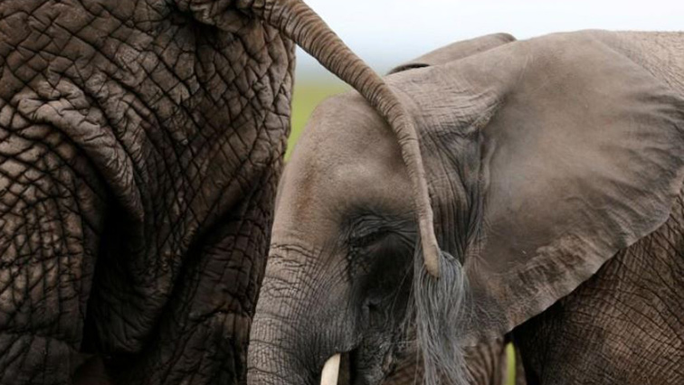 NSPCA slams Johannesburg Zoo for putting elephants in captivity - SABC News - Breaking news, special reports, world, business, sport coverage of all South African current events. Africa's news leader.
