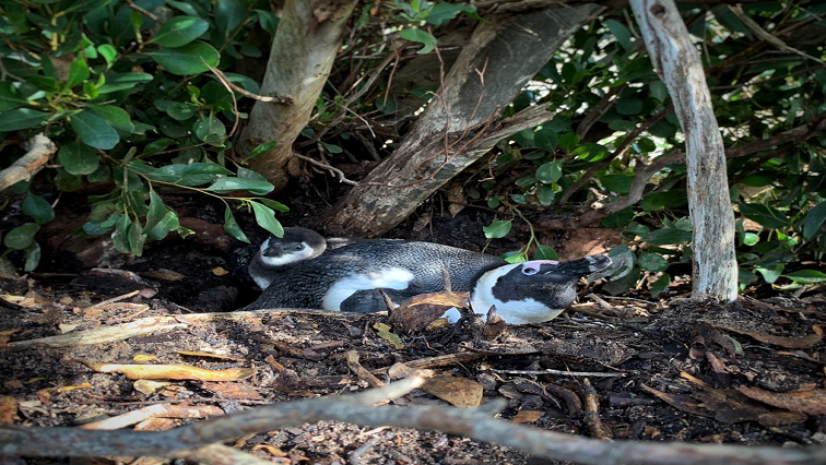 A picture of an African penguin