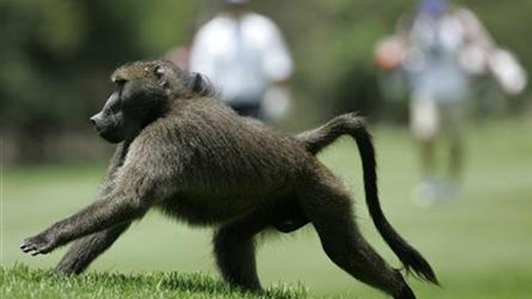 SABC News Baboon R - Missing baboon caught in Krugersdorp