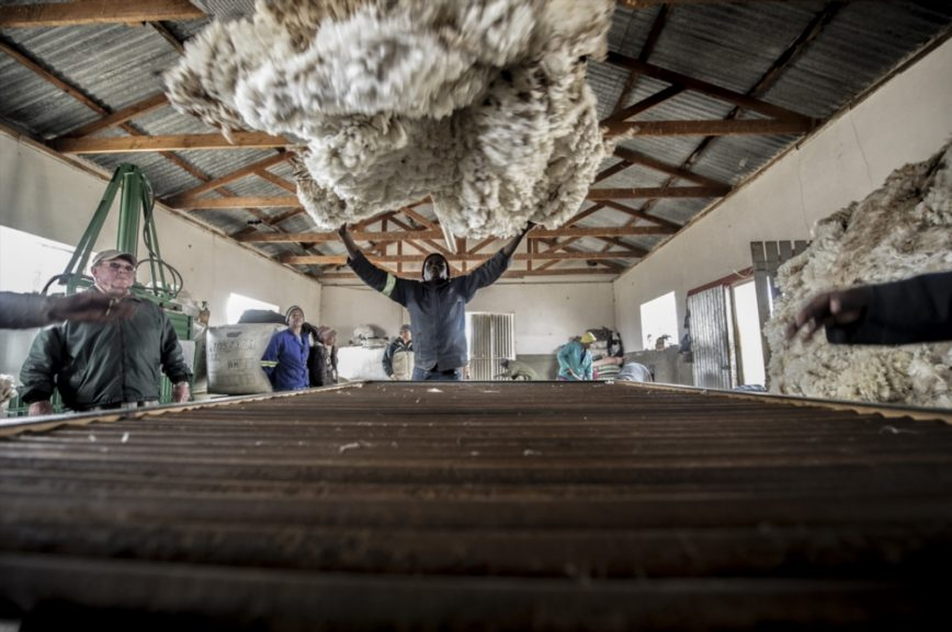 SABC News Sheep Shearer GI 868x577 - Wool farmers fight against forceful Chinese broker deal