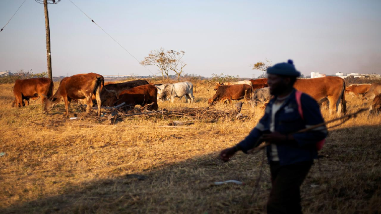 SABC News cattle R - African cattle investing – the new cash cow?