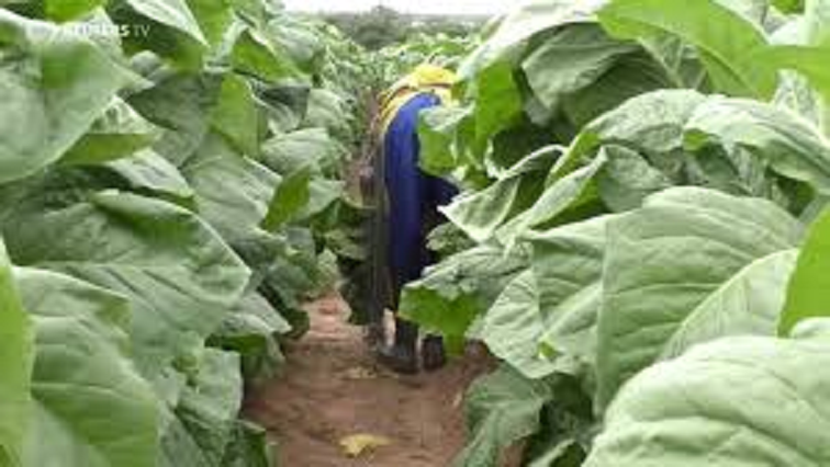 SABC News Spinach farm R - Women in agriculture face challenges