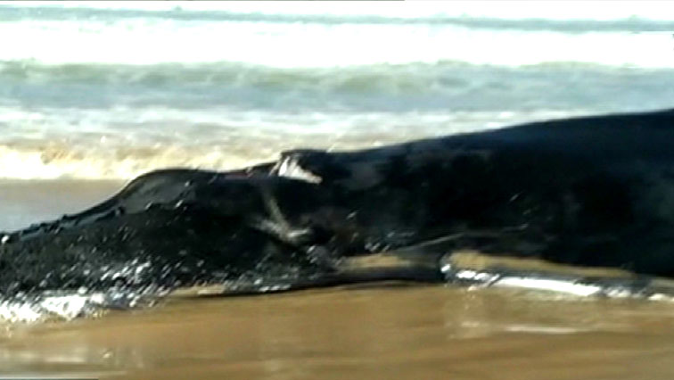 SABC News whale - Hump back whale euthanized after beaching in E Cape