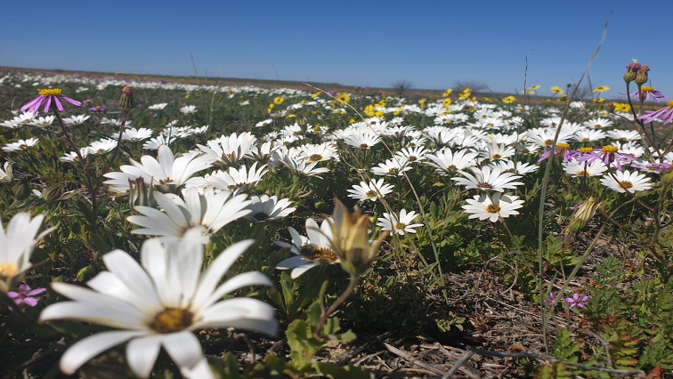 SABC News Flowers - Thousands of flowers welcome spring in Namaqualand
