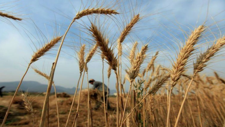SABC News WHEAT Reuters - Wheat farmers experience below average crops due to drought
