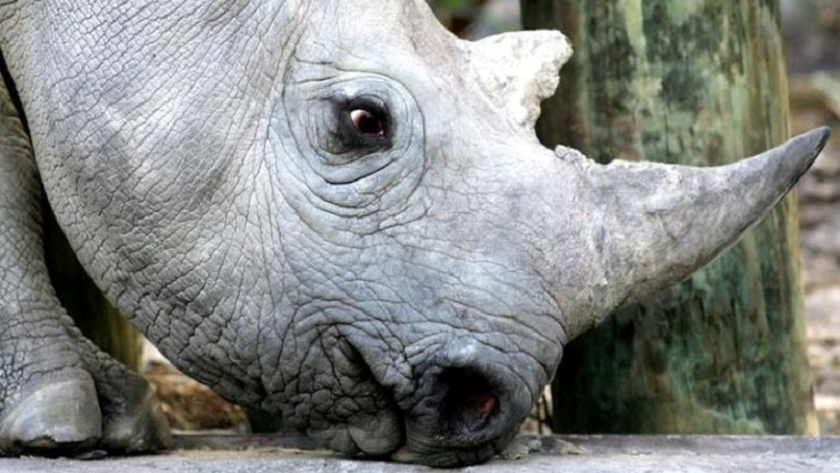 A 33 month old black rhino is seen at a game reserve near Cape Town.