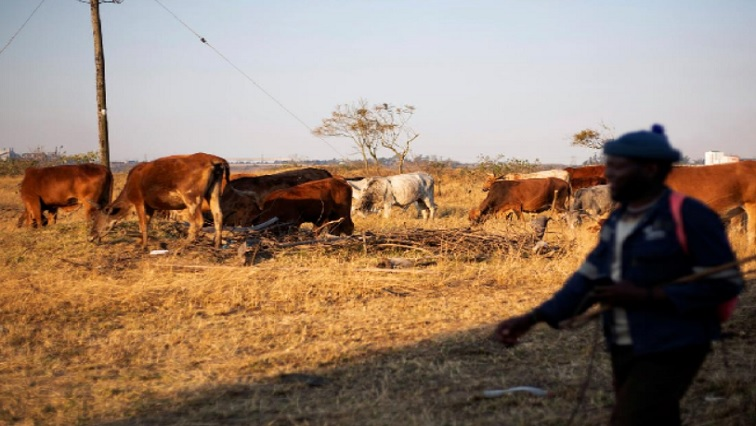 SABC News Cattle - Drought in Northern Cape expected to change farming 'forever'