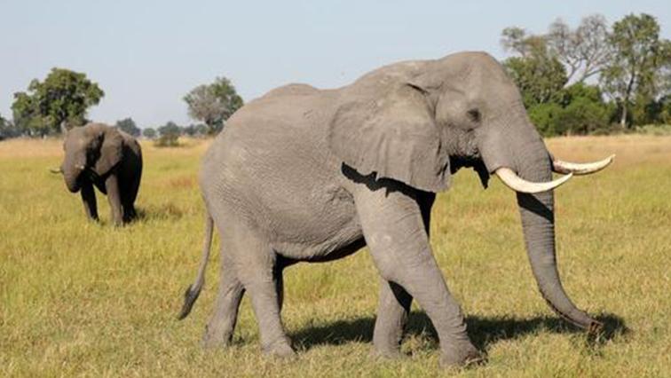 A pair of male elephants is seen in the Okavango Delta, Botswana.