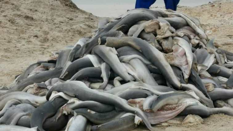 SABC News Sharks Facebook SPCA - Police investigate discovery of large number of sharks on C Town beach