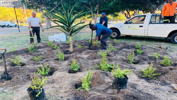 SABC News Spekboom Challenge - City of Cape Town to grow 5000 trees during Climate Change month