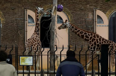 girrafe 2 - Zoos and drive-in cinemas will be among English businesses reopening next Monday