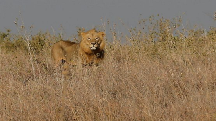 SABC News Lion R - WARNING: GRAPHIC CONTENT – WAP calls for total ban on export of lion parts