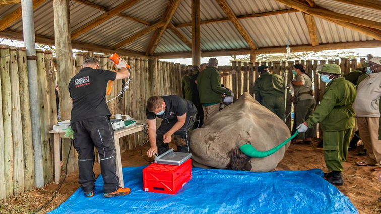SABC News White Rhino R - Scientists harvest more eggs from near-extinct northern white rhino