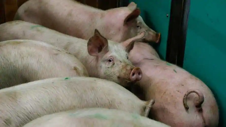 SABC News African Swine Fever R - China bans German pork imports after African swine fever case